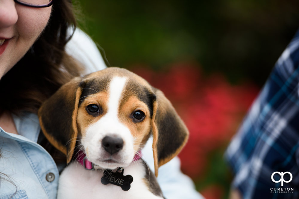 Cute beagle puppy with her parent's during their engagement session in downtown Greenville.
