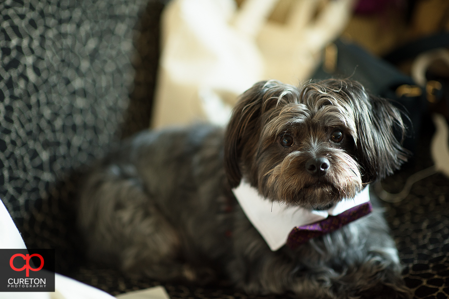 Dog with a bowtie before the wedding.