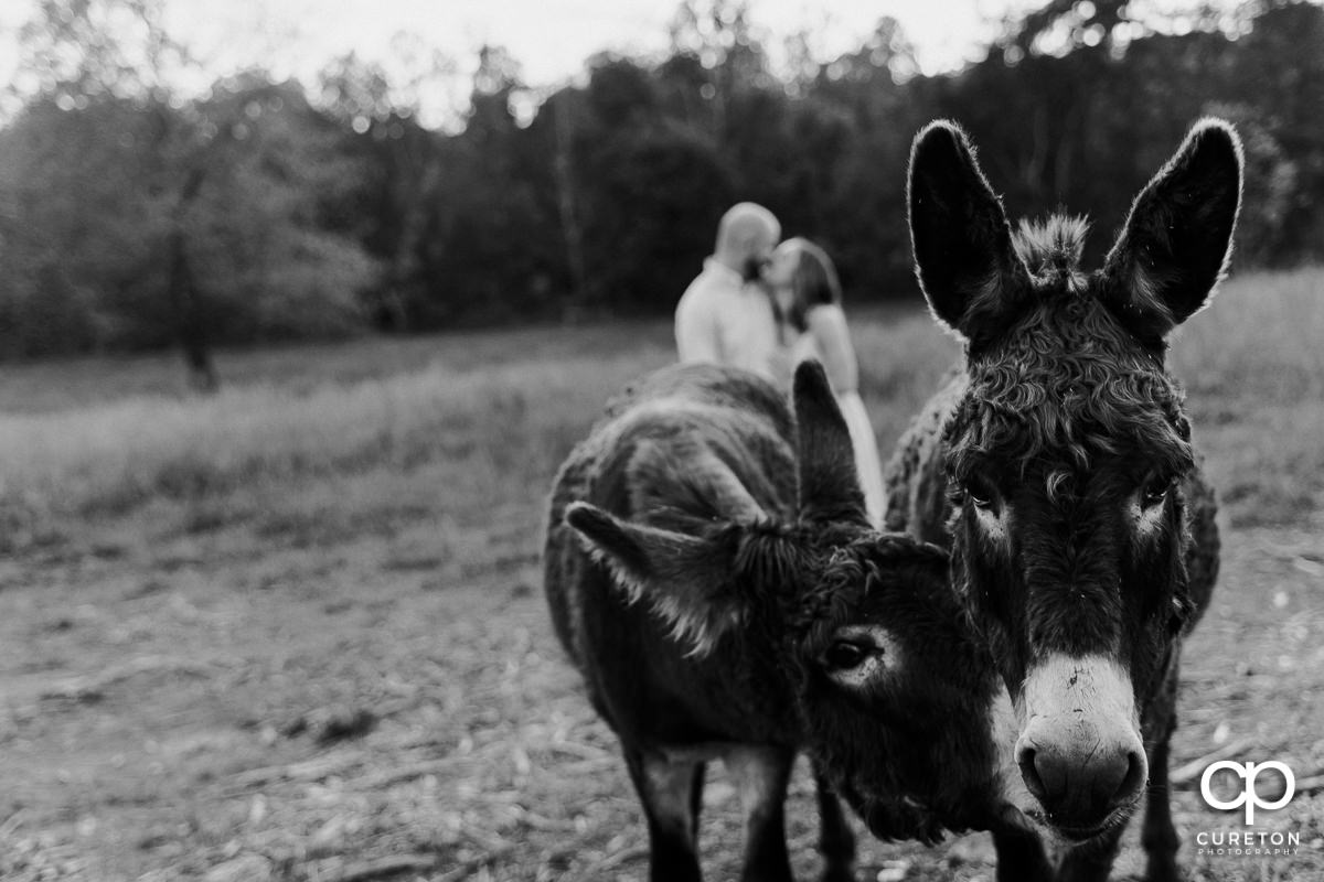 Closeup of two donkeys with and engaged couple kissing in the background during a family farm engagement session in Gray Court,SC.