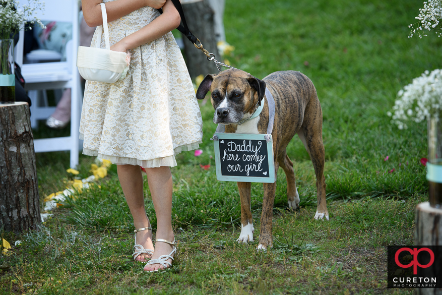 The dog carrying a sign down the aisle.