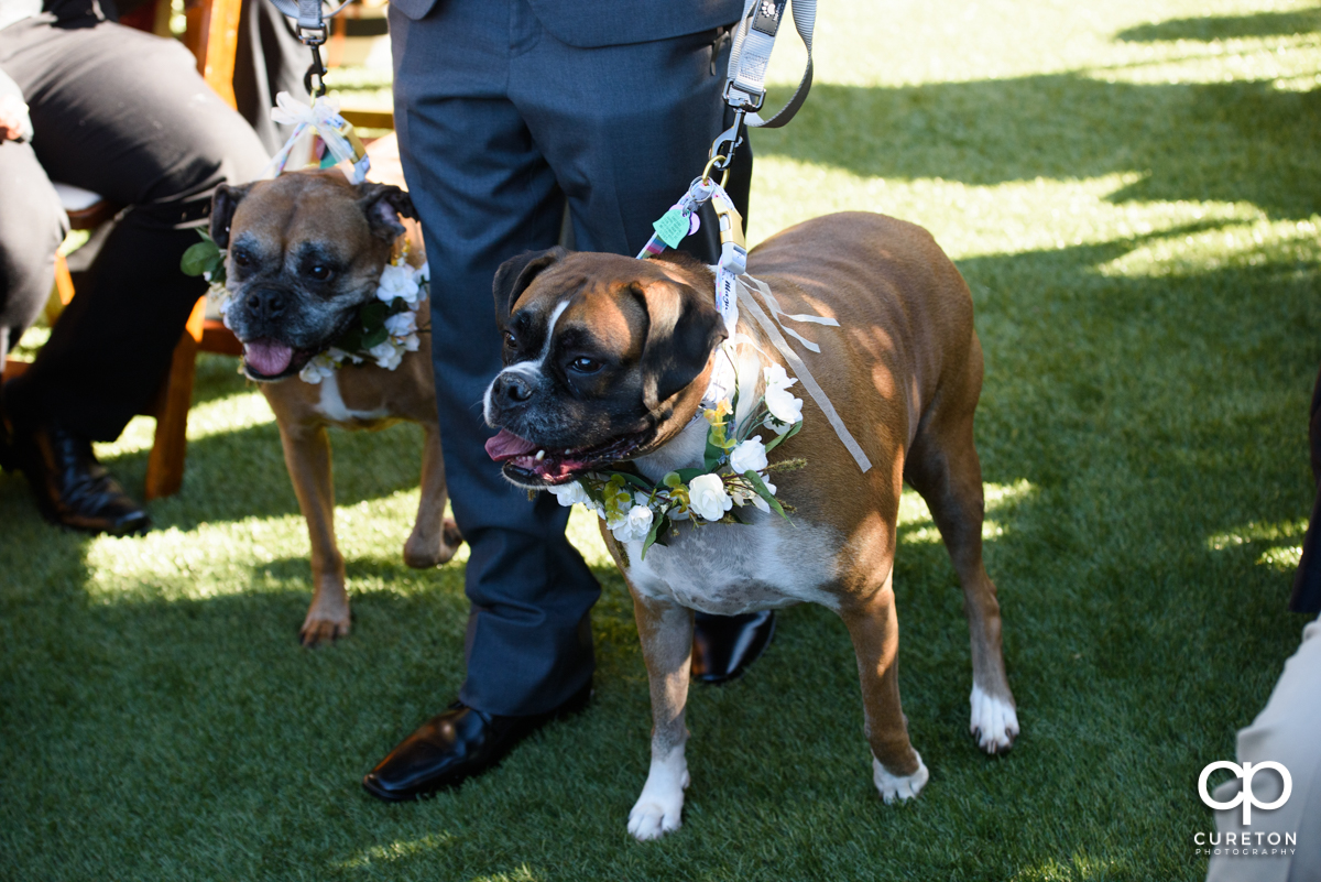 Two boxer dogs walking down the aisle at the wedding.